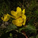 Sumpf Dotterblume gelbe Bluete Caltha palustris 03