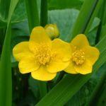Sumpf Dotterblume Caltha palustris 02