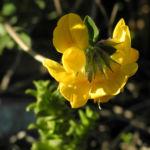 Bild:  Sumpf-Hornklee Blüte gelb Lotus pedunculatus