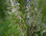Bild:  Sumpf-Kratzdistel Blüte lila Cirsium palustre