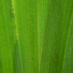 Sumpf Schwertlilie Blatt gruen Iris pseudacorus 03