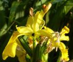 Sumpf Schwertlilie Bluete gelb Iris pseudacorus 01