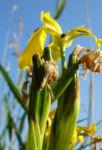 Sumpf Schwertlilie Bluete gelb Iris pseudacorus 05