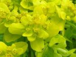 Sumpf Wolfsmilch gelb gruen Euphorbia palustris 11