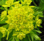 Sumpf Wolfsmilch gelb gruen Euphorbia palustris 12