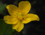 Sumpfdotterblume Bluete gelb Caltha palustris 10