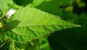 sumpfeibisch blatt gruen hibiscus moscheutos 12