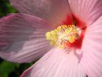 sumpfeibisch bluete rosa hibiscus moscheutos 07
