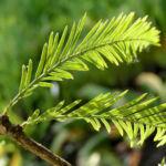 Sumpfzypresse Sumpfeibe Rinde Blatt gruen Taxodium distichum 01