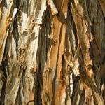 Sumpfzypresse Sumpfeibe Rinde Blatt gruen Taxodium distichum 02