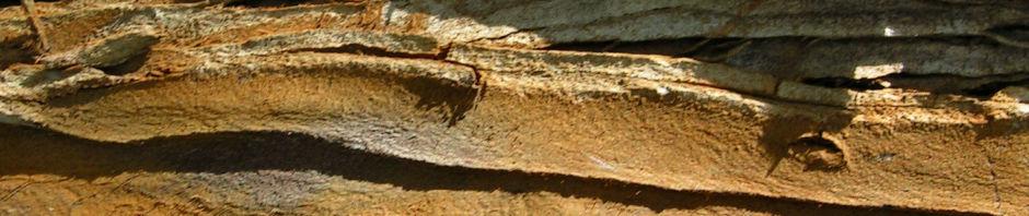 Anklicken um das ganze Bild zu sehen  Sumpfzypresse Taxodium distichum