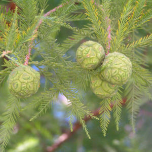 Sumpfzypresse Sumpfeibe Rinde Blatt gruen Taxodium distichum 05