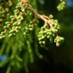 Sympfzypresse Nadel gruen Taxodium distichum 02