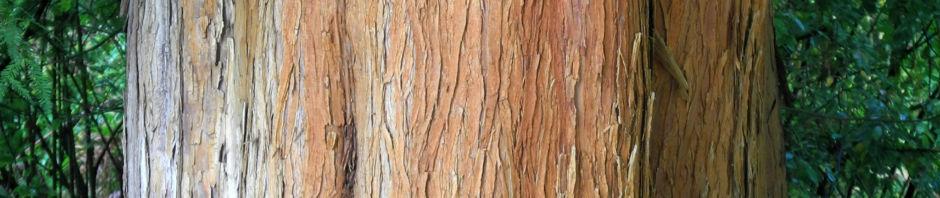 sympfzypresse-taxodium-distichum