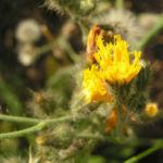 Taeuschendes Habichtskraut Bluete gelb Hieracium fallax 04