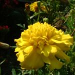 Tagetes gelb Tagetes 01