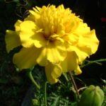 Tagetes gelb Tagetes 04