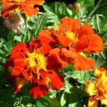 Tagetes orange rot Tagetes 01
