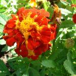Tagetes orange rot Tagetes 02