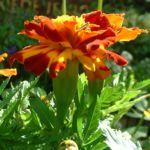 Tagetes orange rot Tagetes 03