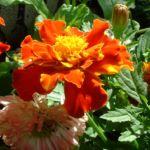Tagetes orange rot Tagetes 04