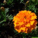 Tagetes orange Tagetes 01