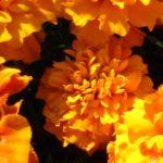 Tagetes orange Tagetes 02