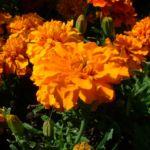 Tagetes orange Tagetes 03