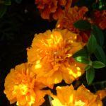 Tagetes orange Tagetes 04