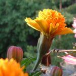 Tagetes orange Tagetes 05