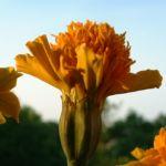 Tagetes orange Tagetes 06