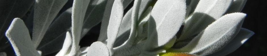 tar-bush-emubusch-strauch-bluete-gelb-eremophila-glabra-albicans