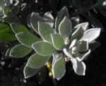Tar Bush Emubusch Strauch Bluete gelb Eremophila glabra albicans 03