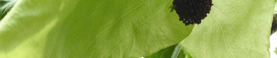 taschentuchbaum-bluete-gruenlich-davidia-involucrata