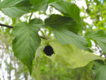 Taschentuchbaum Bluete gruenlich Davidia involucrata 05