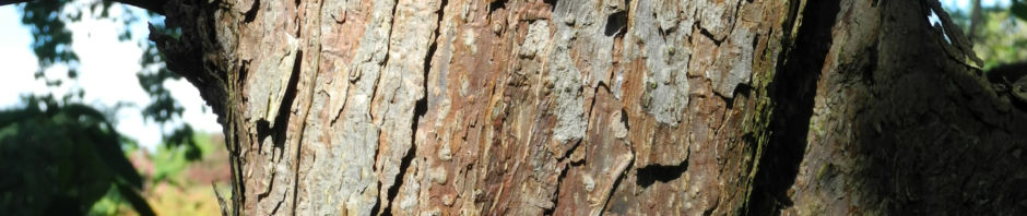 taschentuchbaum-blatt-gruen-davidia-involucrata