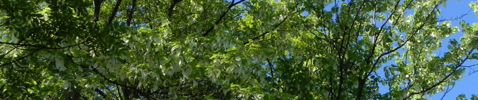 taubenbaum-rinde-blatt-bluete-weiss-davidia-involucrata