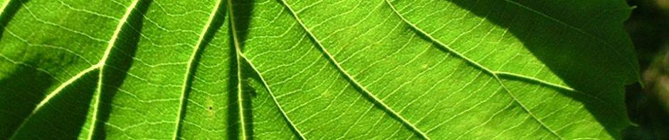 taubenbaum-frucht-davidia-involucrata