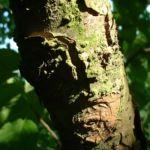 Taubenbaum Frucht Davidia involucrata 02