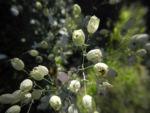 Taubenkropf Leimkraut Bluete weiß Silene vulgaris 01