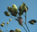 Taubenkropf Leimkraut Bluete weiß Silene vulgaris 09