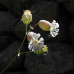 Bild:  Taubenkropf-Leimkraut Blüte weiß Silene vulgaris