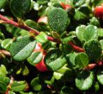 Teppich Zwergmispel Blatt gruen Frucht rot Cotoneaster dammeri 01