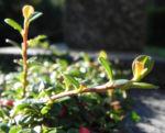 Teppich Zwergmispel Blatt gruen Frucht rot Cotoneaster dammeri 08