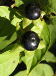 Tollkirsche Frucht schwarz Atropa bella donna 02