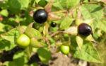 Tollkirsche Frucht schwarz Atropa belladonna 08