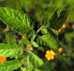 Tomate Blatt gruen Solanum lycopersicum 04