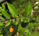 Tomate Blatt gruen Solanum lycopersicum 05