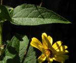 Topinambur Blatt gruen Helianthus tuberosus 01