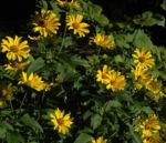 Topinambur Bluete gelb Helianthus tuberosus 01